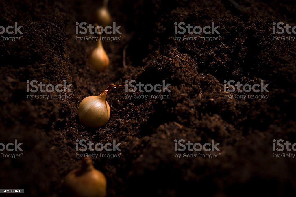 onion seeds in dirt royalty-free stock photo