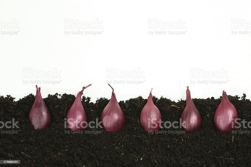 onion set side view growing organic royalty-free stock photo