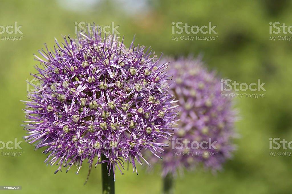 Onion Spheres royalty-free stock photo