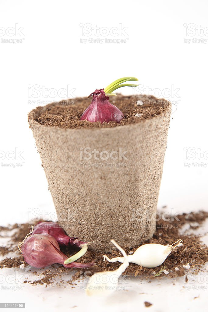 Onion Sprout stock photo