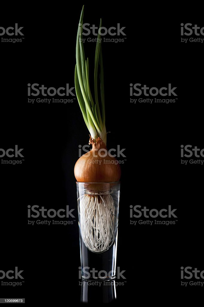 Onion with fresh sprouts royalty-free stock photo