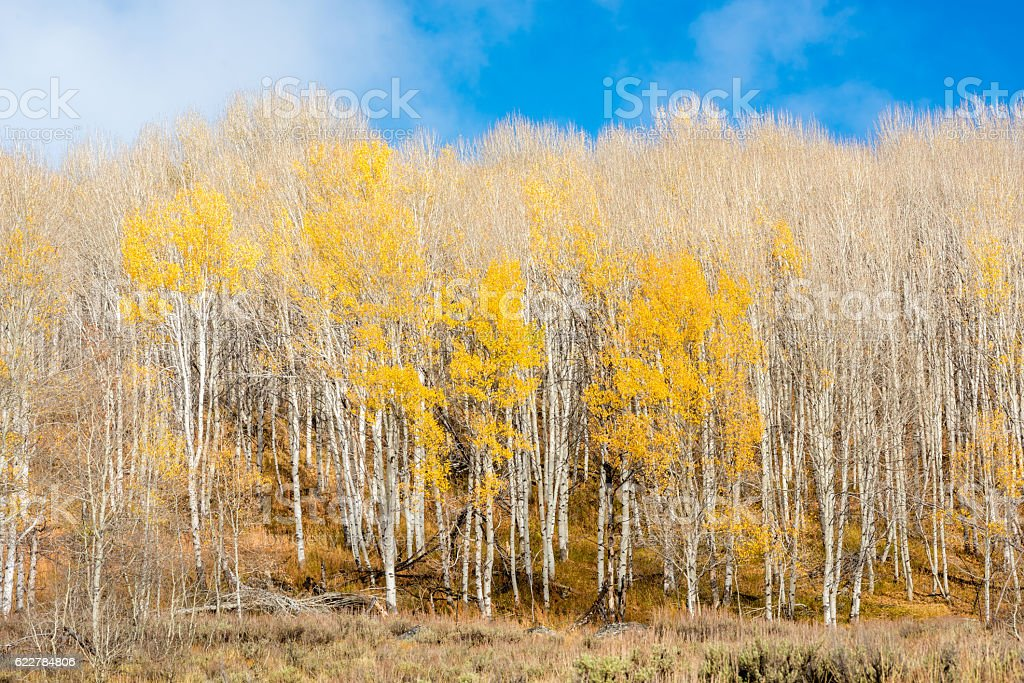 Only a few trees in Aspen grove with yellow leaves stock photo