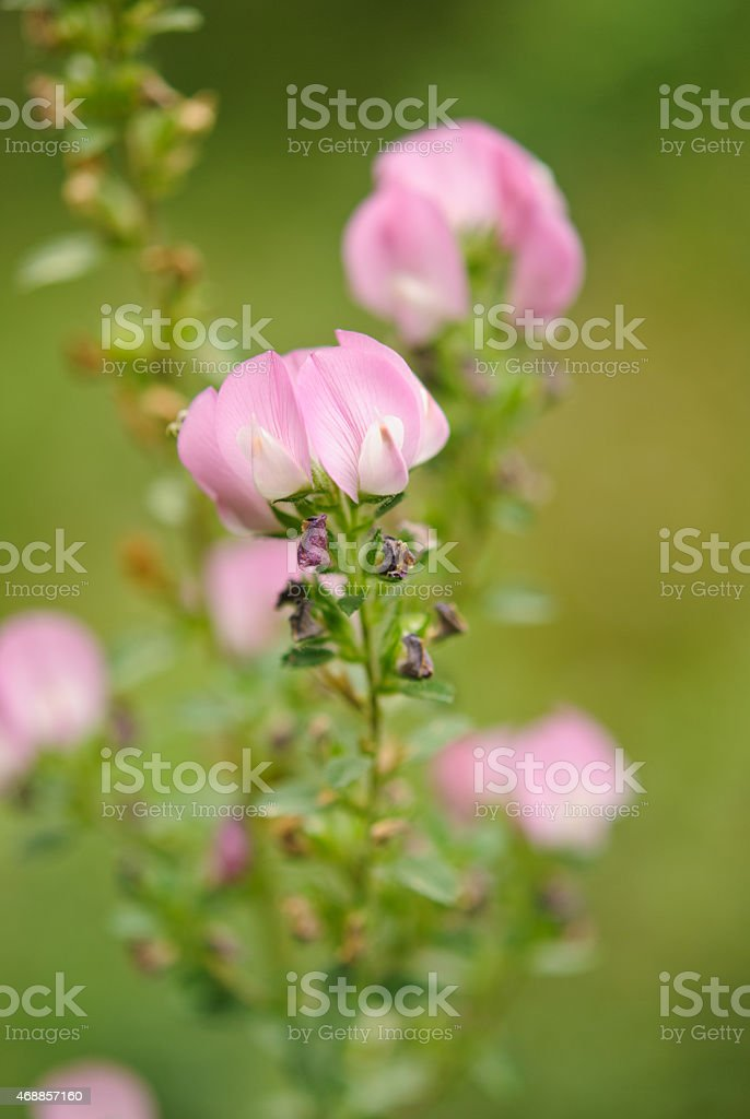 Ononis stock photo