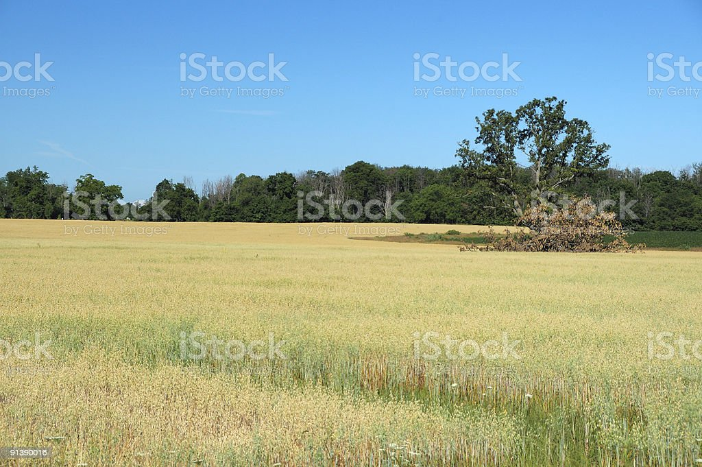 Ontario barley field, summer scene stock photo