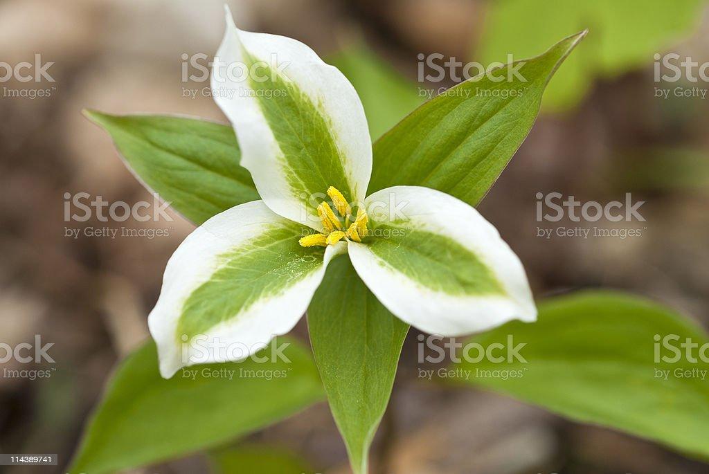 Ontario White Trillium royalty-free stock photo
