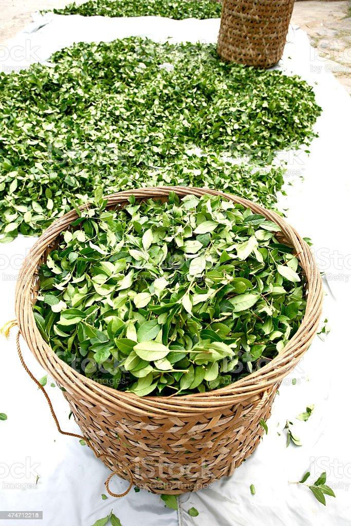 Ooolong Tea Leaves stock photo