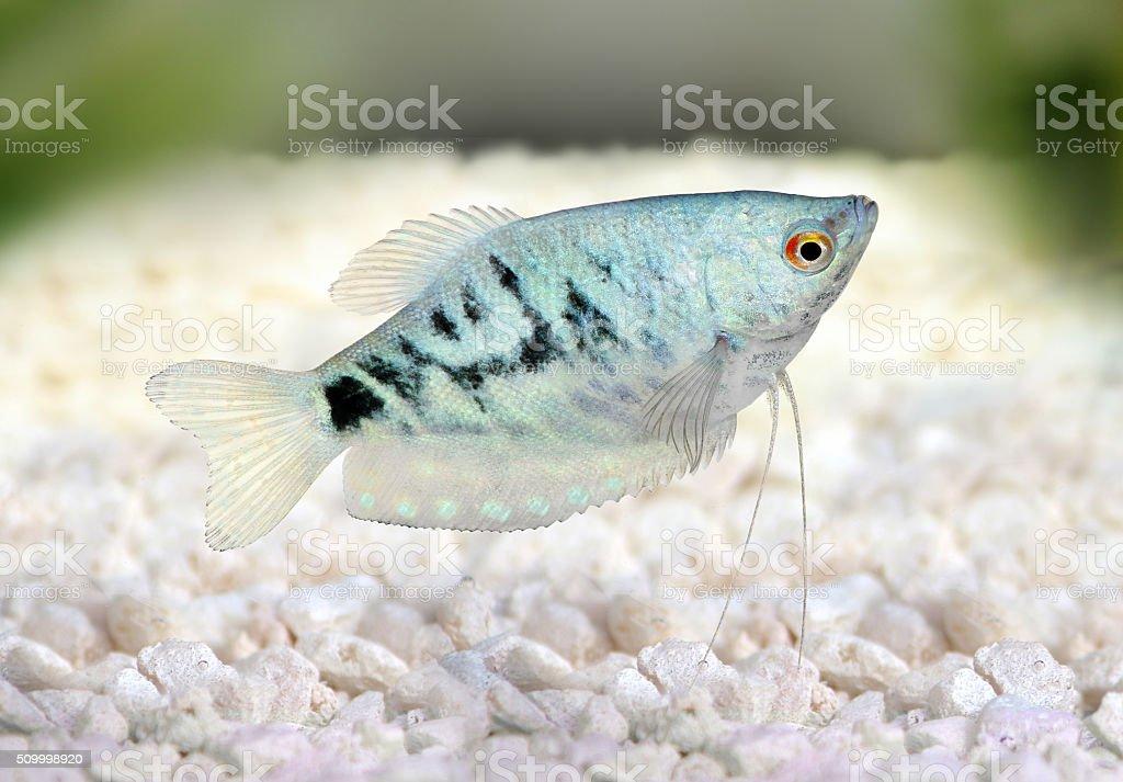 Opaline Gourami Trichopodus trichopterus tropical aquarium fish stock photo