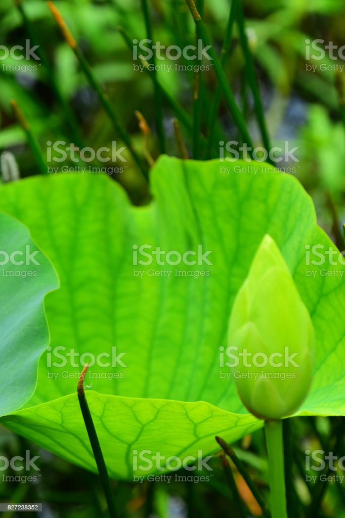 Open American Lotus flower bud and backlit leaf stock photo