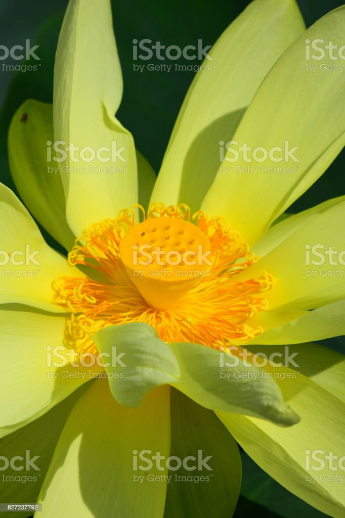 Open American lotus with yellow conical seed cone stock photo