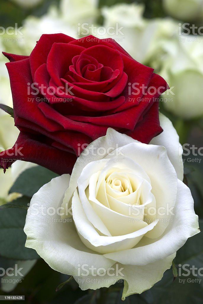 Red and White Rose stock photo