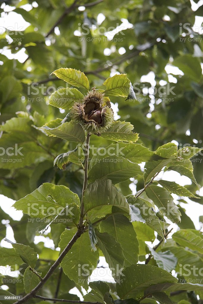 Open Chestnut on the Tree stock photo