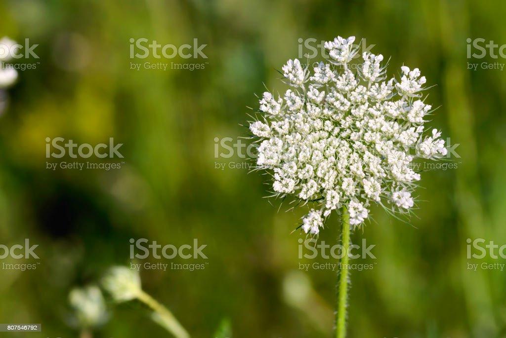 Open Daucus Carota Flower stock photo