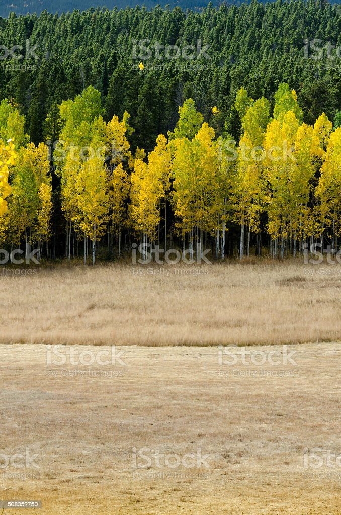 Open Field Leads to Changing Aspens.dng stock photo