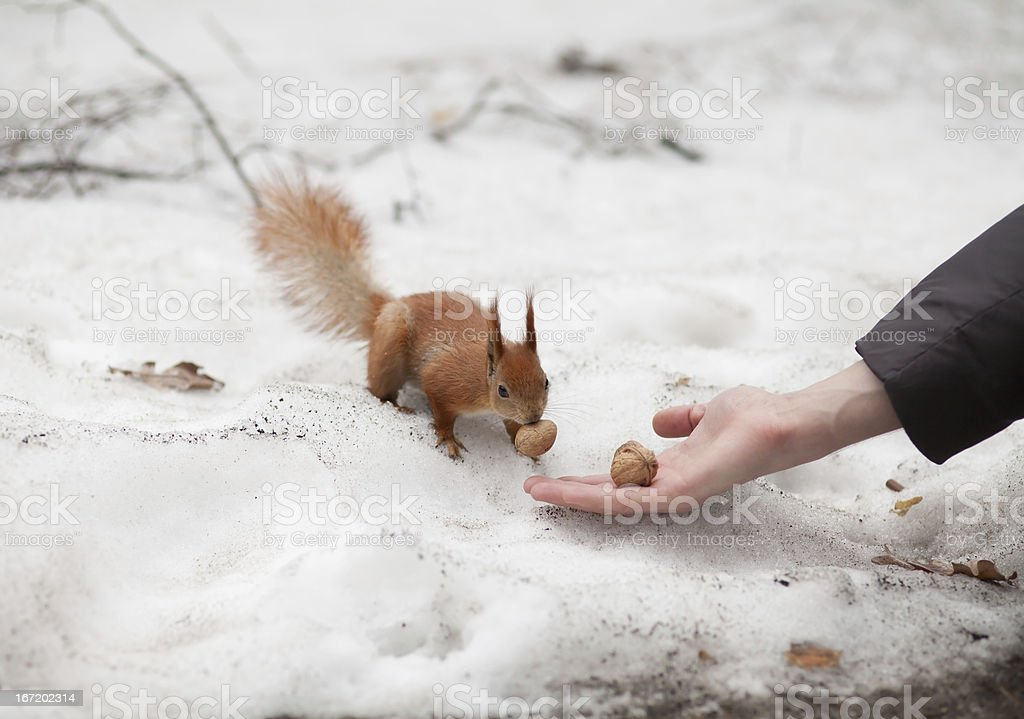 Open hand and squirrel. stock photo