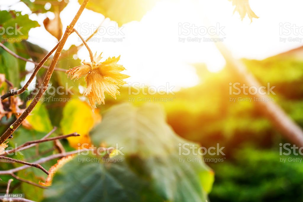 Open hazelnuts on branches close-up in autumn under bright sunlight stock photo