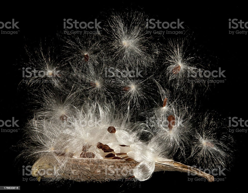 Open Milkweed Pod (Asclepias) stock photo