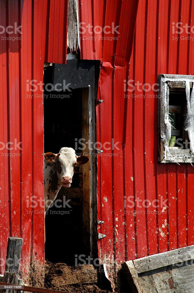 Open mouth calf stock photo
