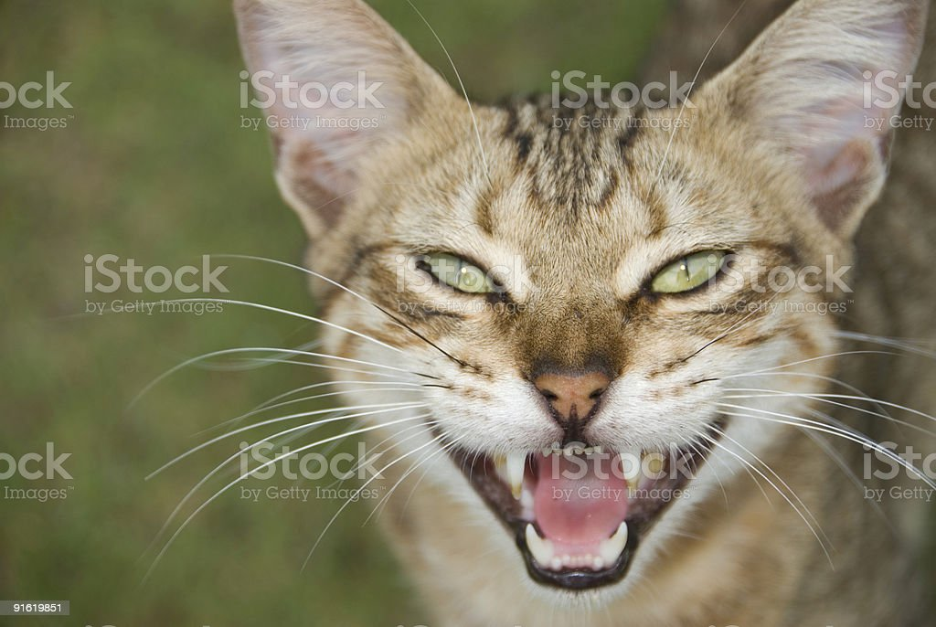 Open Mouthed Cat royalty-free stock photo