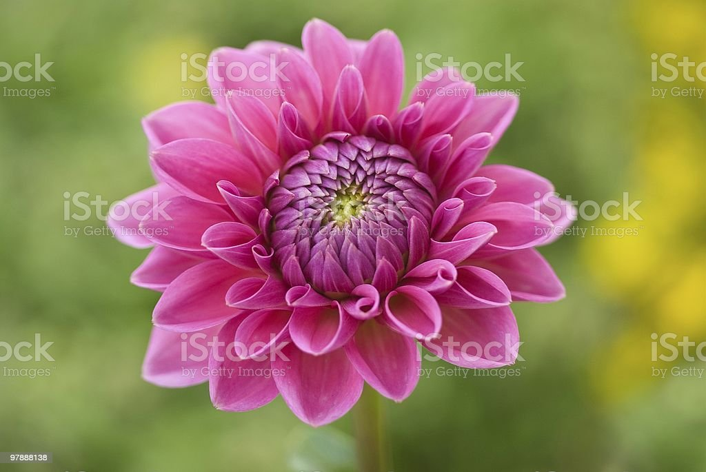 open pink flower royalty-free stock photo