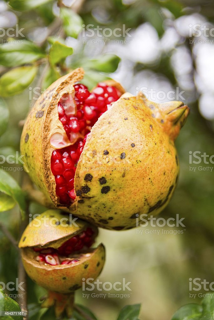 Open pomegranate fruit on tree royalty-free stock photo