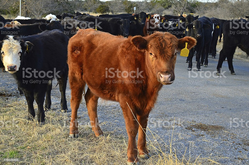Open Range Cattle Country stock photo