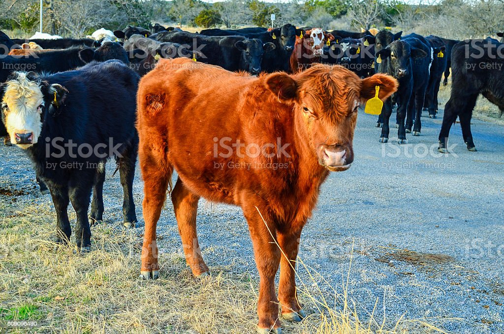 Open Range Cattle stock photo