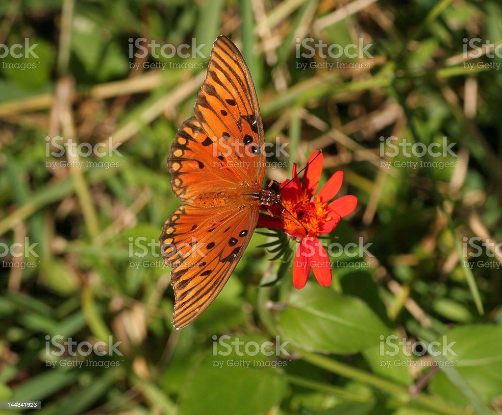 Abierto alas mariposa del golfo foto de stock libre de derechos