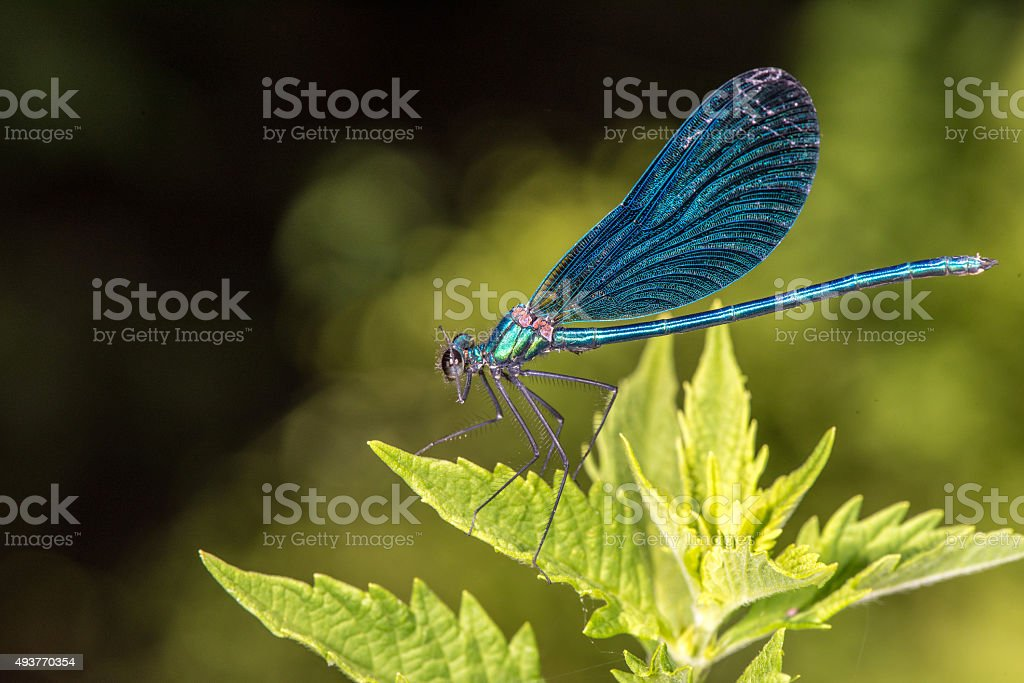 Open wings blue dragonfly macro stock photo