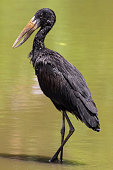 Openbill stork wading in the water
