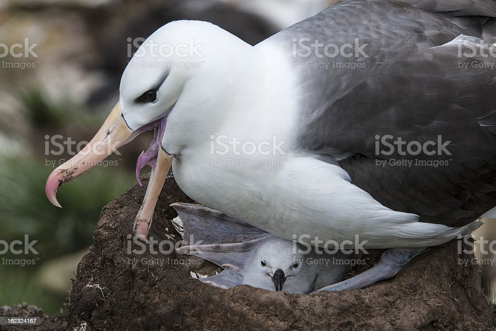 Open-billed Black-browed Albatross on Its Nest royalty-free stock photo
