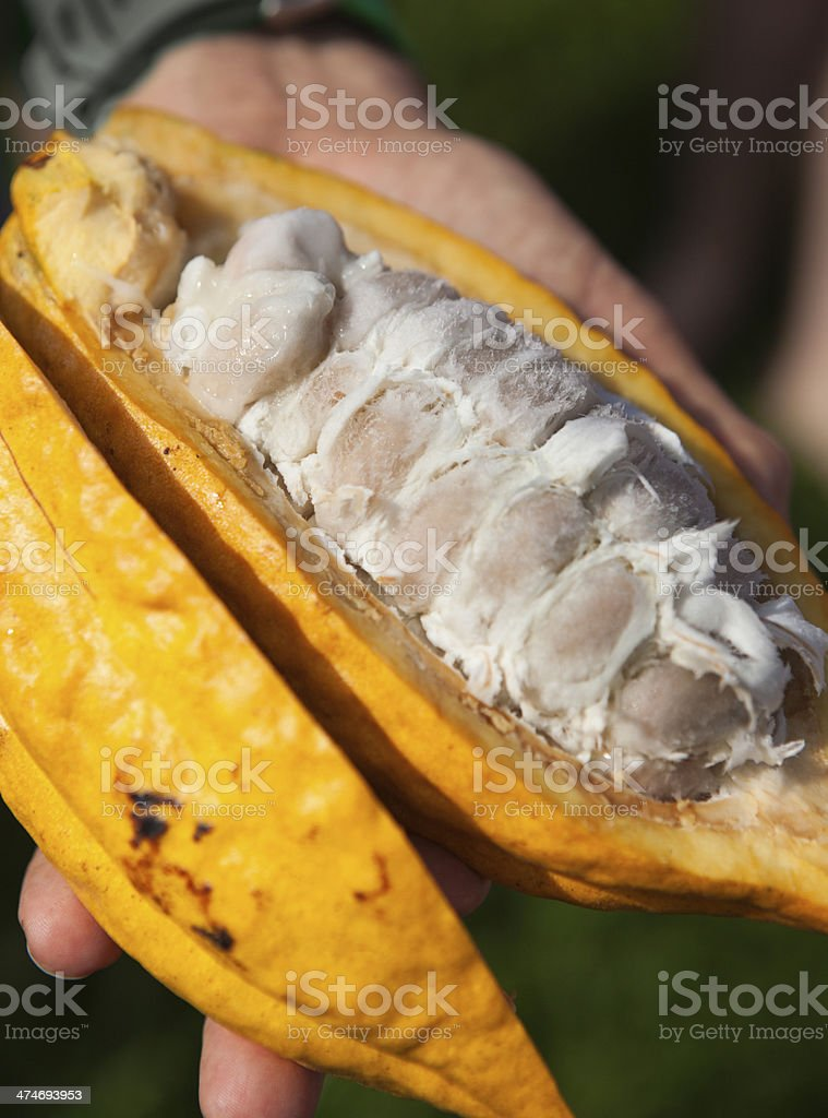 Opened Chocolate Cacao Fruit in Chocolate Farm Vertical stock photo