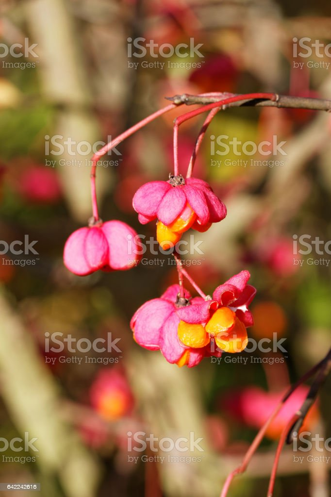 Opened Seed Vessels of the European Spindle Tree ( Euonymus europaeus ) – Foto