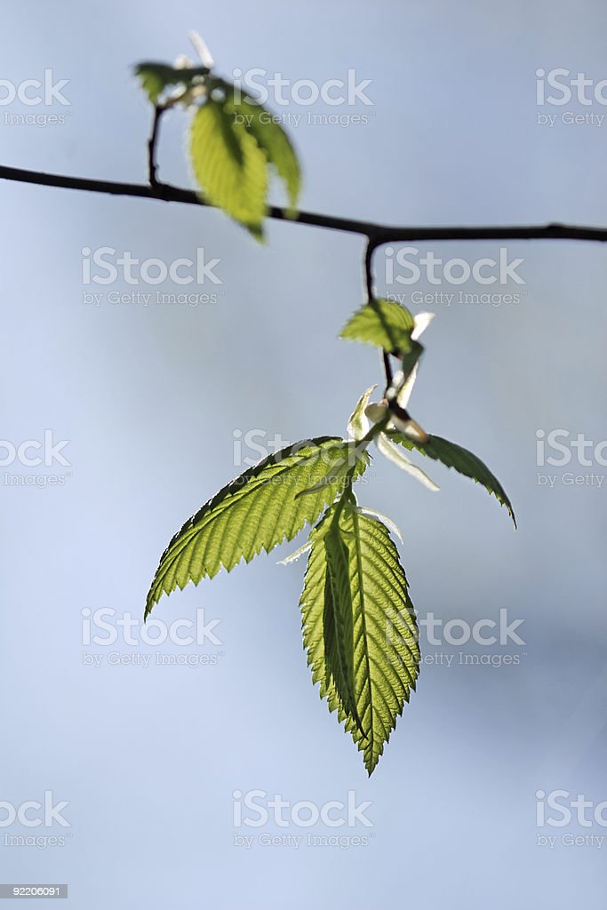 Opening elm leaves royalty-free stock photo