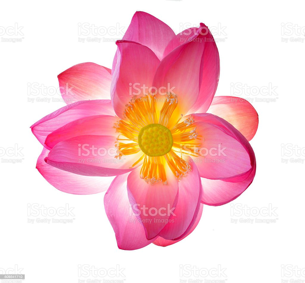 Opening lotus flower stock photo