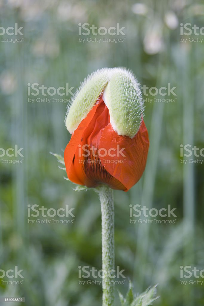 Opening Oriental Poppy royalty-free stock photo