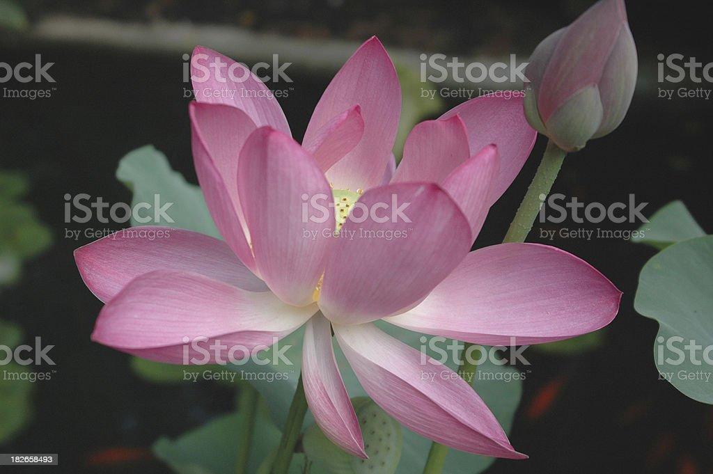 Opening Pink Lotus royalty-free stock photo