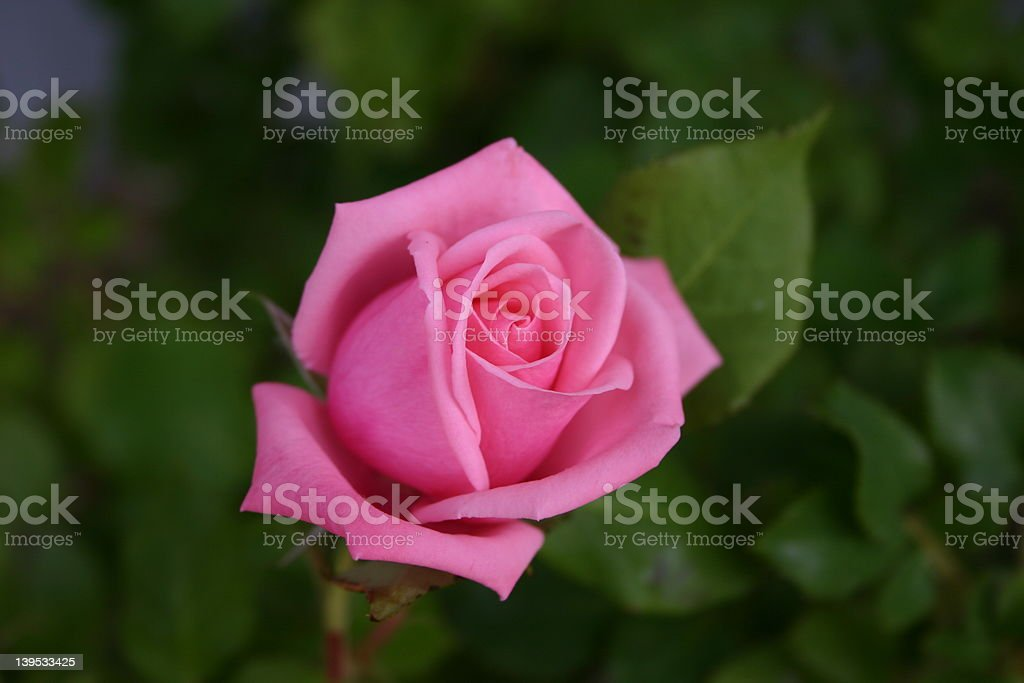opening rose 2 royalty-free stock photo