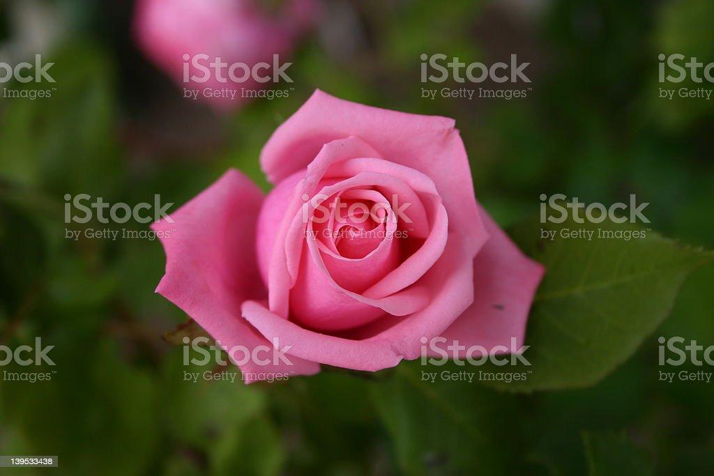 opening rose 3 royalty-free stock photo