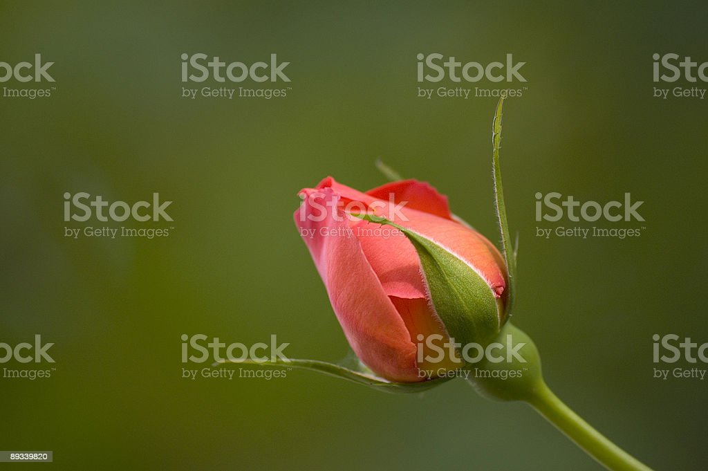 Opening Rose Bud stock photo