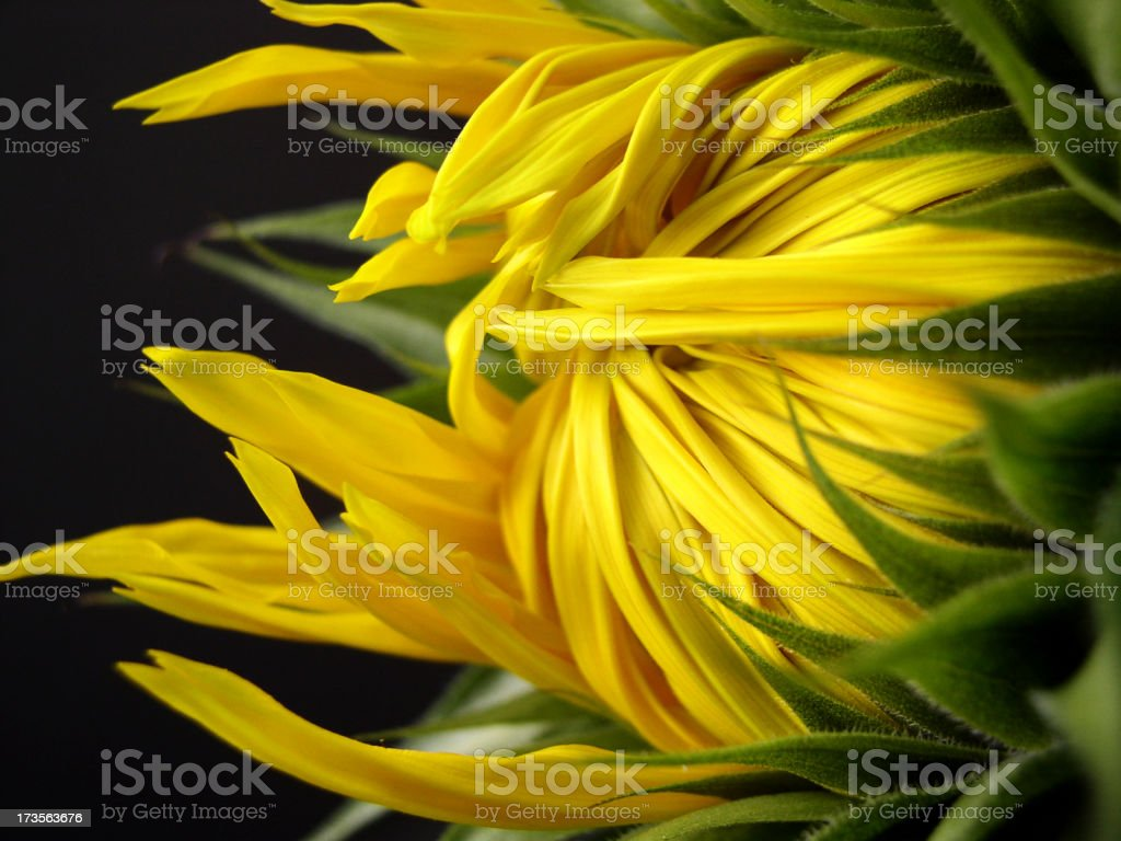 opening sunflower royalty-free stock photo