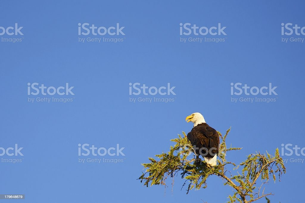 Open-Mouthed Bald Eagle on Tamarack royalty-free stock photo