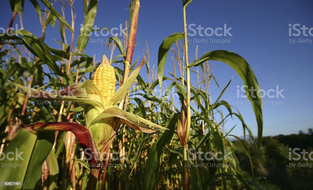 Openned corn crop. royalty-free stock photo