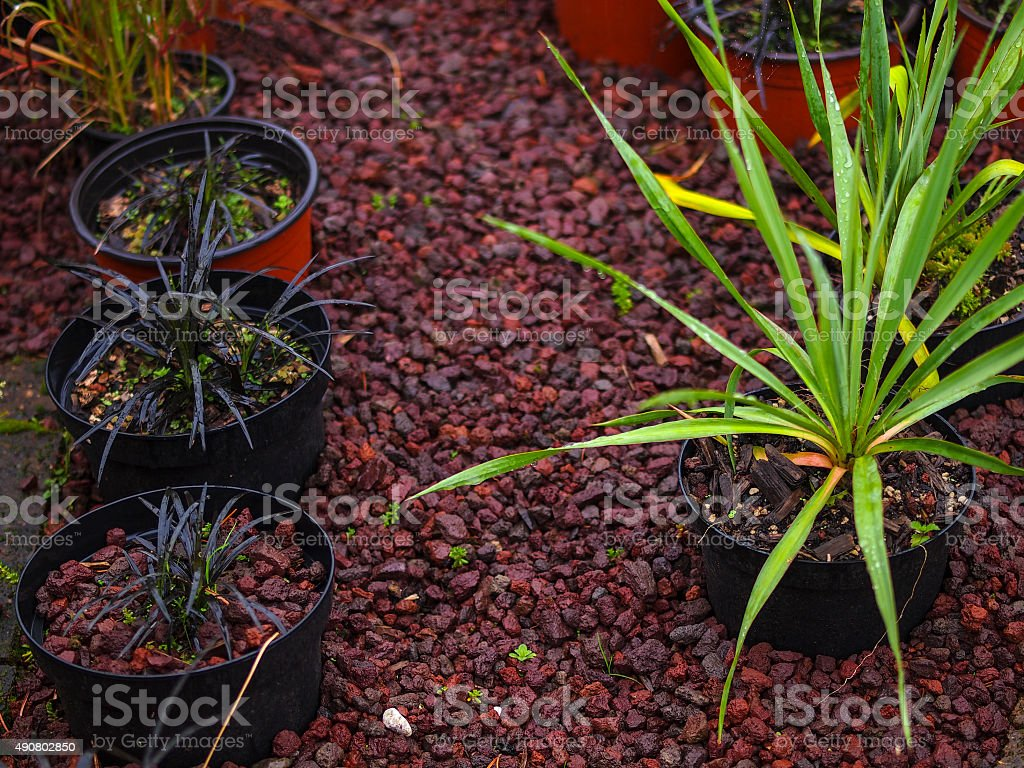 Ophiopogon niger left and right Yucca filamenthosa in Garden Market stock photo