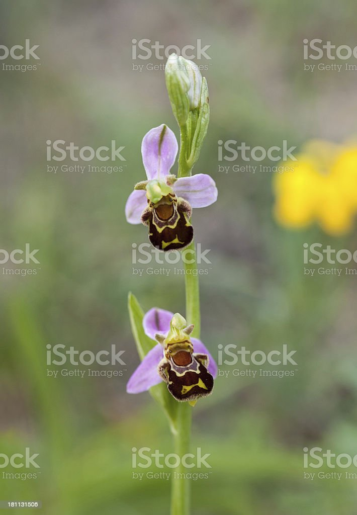 Ophrys apifera (Bee orchid) royalty-free stock photo