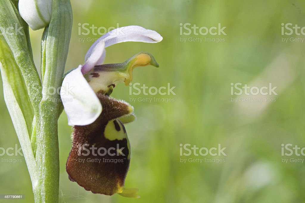 Ophrys Bertolonii royalty-free stock photo