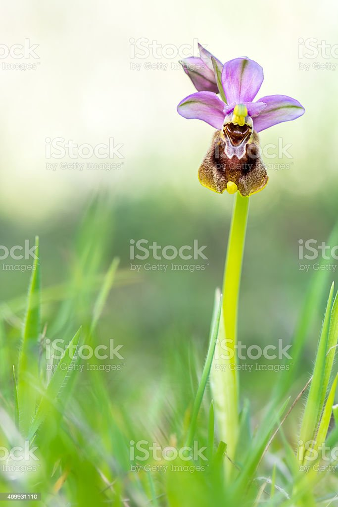Ophrys tenthredinifera Wild Orchid Southern Europe stock photo