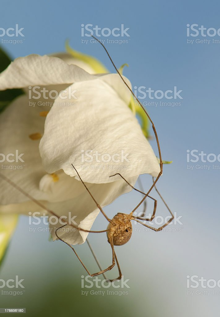 Opiliones royalty-free stock photo