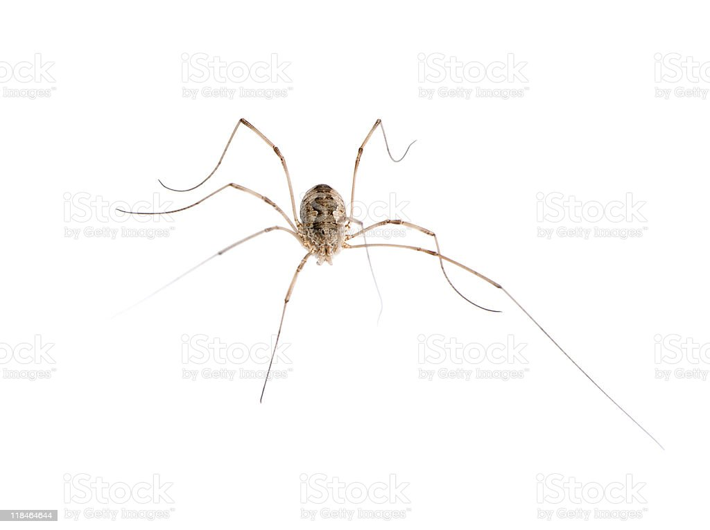 Opiliones spider in front of white background, studio shot stock photo