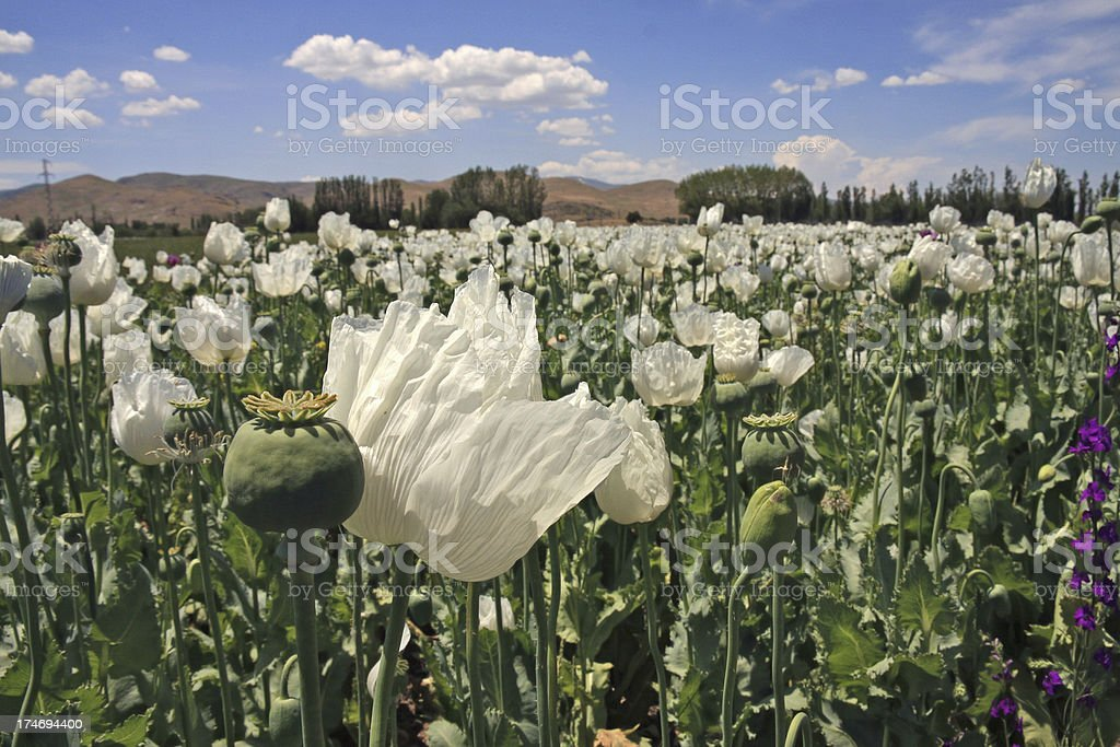 Opium field royalty-free stock photo