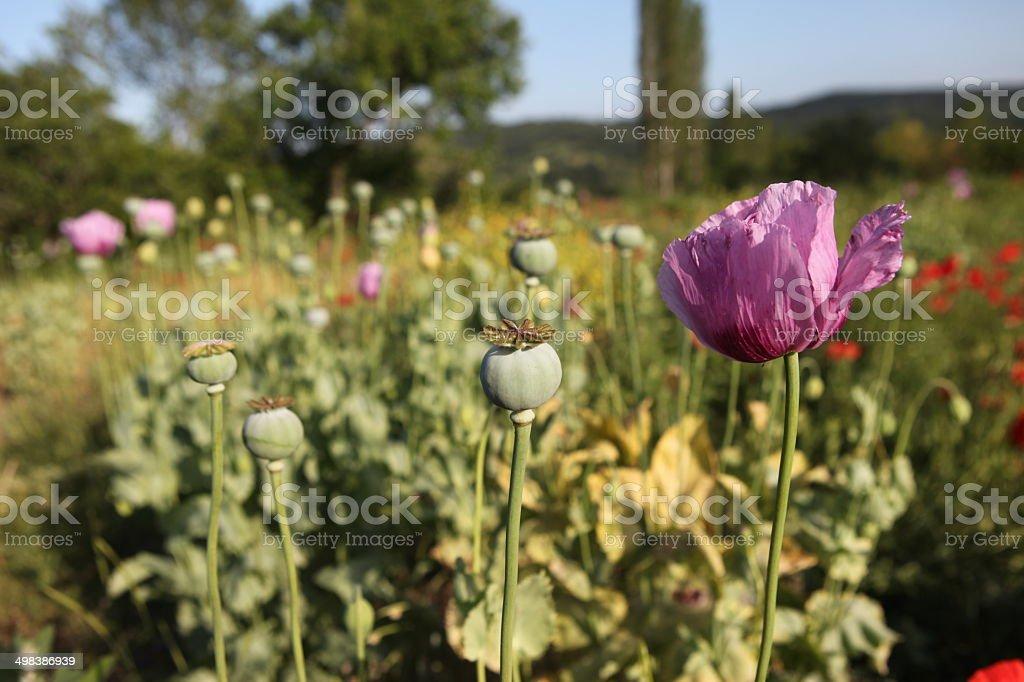 Opium field stock photo